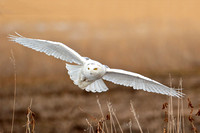 Snowy Owl (Bubo Scandicus)