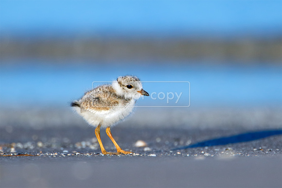 Piping Plover (Charadrius melodus) Juvenile